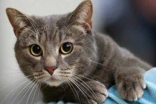 european-shorthair-cat-4.jpg.pagespeed.ce.TVNug3Lg3z
