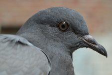 pigeon-380221_960_720