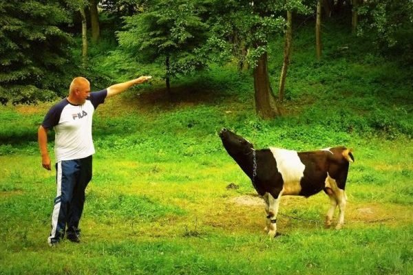 57380947 - trained cow on the lawn in the city of alexandria in ukraine