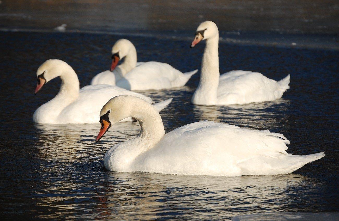 Забиття лебедів у Криму
