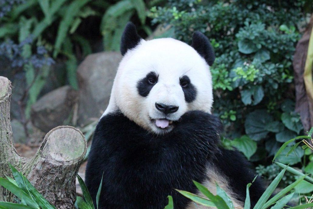 Померла найстаріша панда у світі
