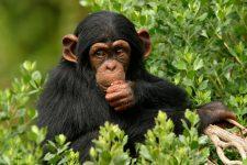 Шимпанзе курить у зоопарку
