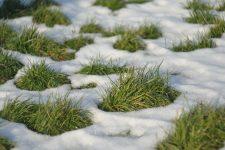 У Москві косять траву під снігом