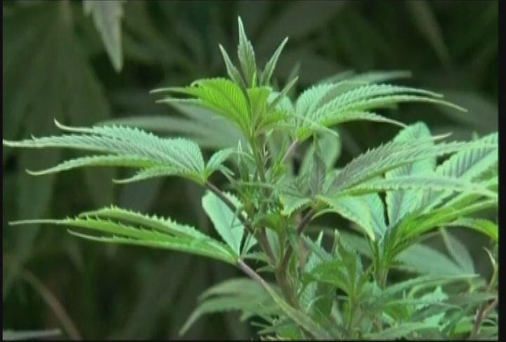 Легалізації марихуани в Україні: