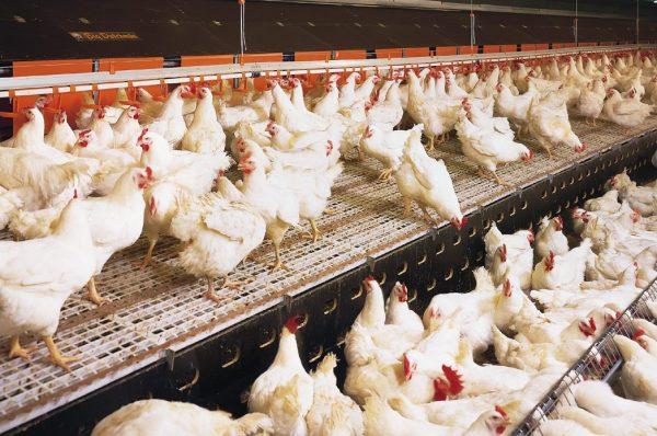ВУкраинском государстве могут резко подешеветь яйца— Птичий грипп
