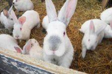 кролі кооператив