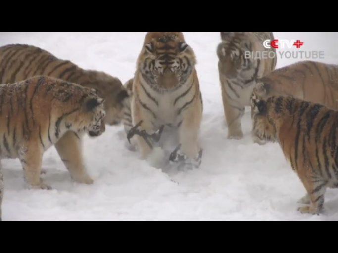 тигры ловят дрон