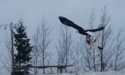 Домашняя кошка попалась вкогти орла— Схватка хищников
