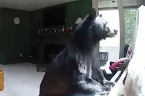 ВСША медведь влез вдом исыграл нафортепиано