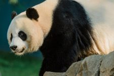Умерла панда Сусу