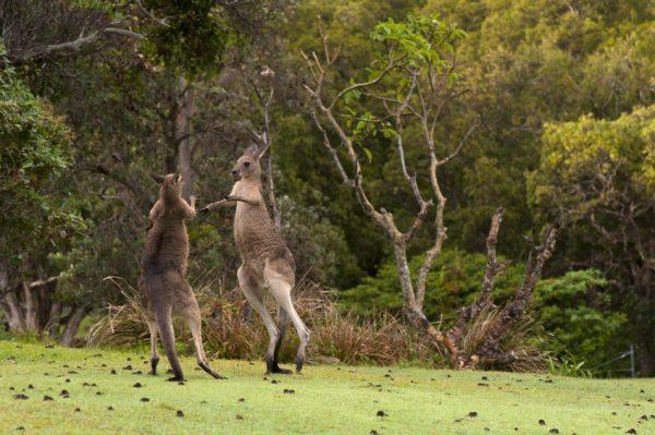 На відео потрапила сутичка між кенгуру та вівчаркою (відео)