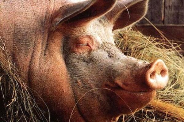 Свиня вбила фермера, відкусивши йому пеніс і пальці
