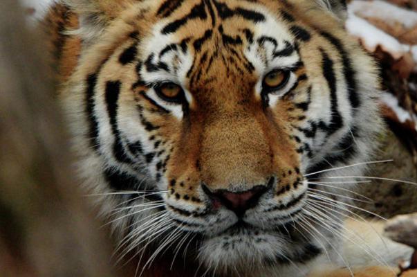 «Жена» тигра Амура отказалась есть козла Тура
