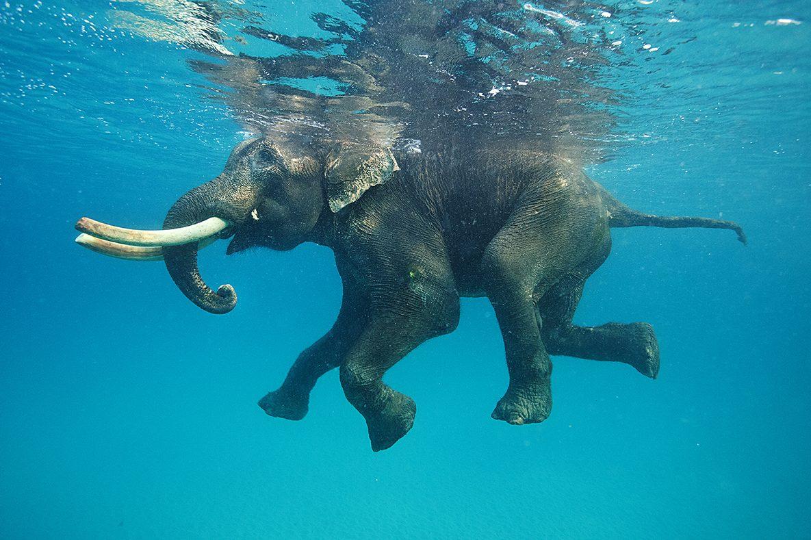 НаШри-Ланке 12 часов спасали тонущего слона
