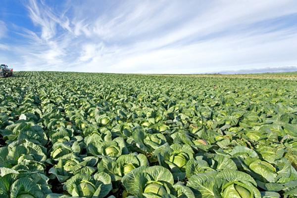 Картинки по запросу урожай капусты