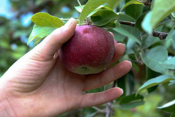 Зривання яблук