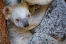 белая коала