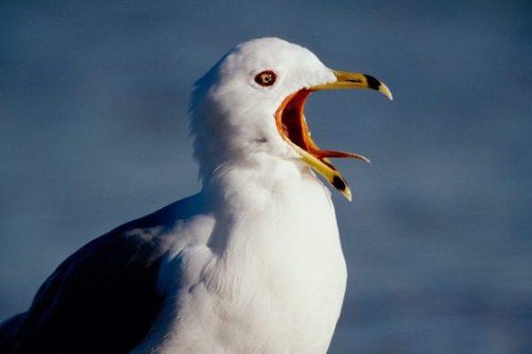 чайка украла чипсы