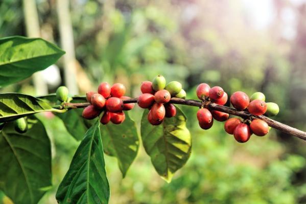 Ученые заявили о возможном исчезновении кофе на Земле