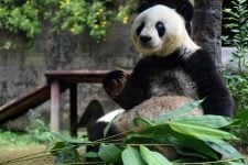 Панда Басі