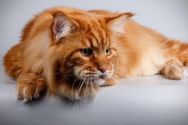 Наибольшего кота вгосударстве Украина внесут вКнигу рекордов