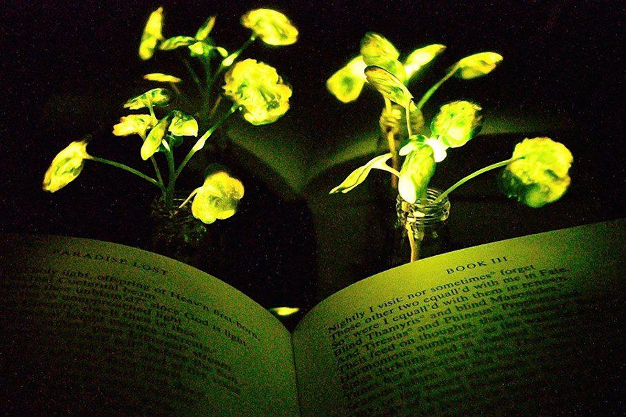 Ученые создали растения— «светлячки»
