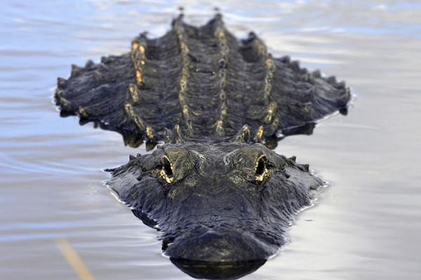 Прыжок аллигатора вкатер стуристами попал навидео