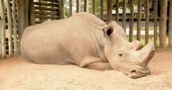 Умер последний вмире северный белый носорог