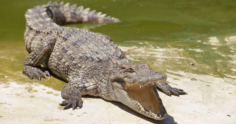Разъяренная толпа бросила насильника вклетку скрокодилом