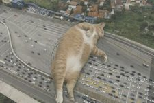 Коти-гіганти заблокувати рух у місті - кумедні фото
