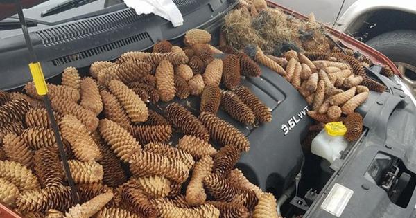 Білки заховали в авто 23 кг шишок