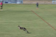 Кенгуру вибіг на поле під час гри