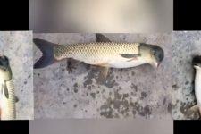 Риба з головою голуба