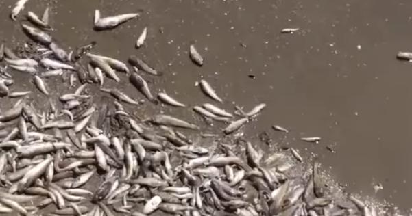 Мор риби в Азовському морі