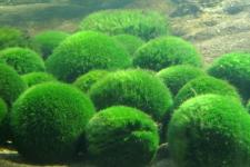Світязь може стати болотом через розкрадання унікальних водоростей Кладофор