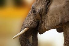 Знайшли лише череп і штани: у ПАР слон вбив браконьєра