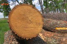 На Харьковщине вырубают вековые дубы: кто и зачем разворовывает лес