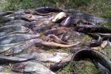 На Черкащині браконьєри мордували сомів електрострумом