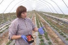 Рай серед осені: як фермер із Прикарпаття зробив бізнес на полуниці