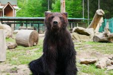 Чекають на морози: в Карпатах через теплу зиму не можуть заснути ведмеді