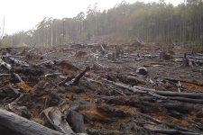 Вирізали понад 50 дерев. На Черкащині чорні лісоруби знищили вікові реліктові дуби