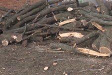 На Николаевщине браконьеры вырубили 80-летние дубы