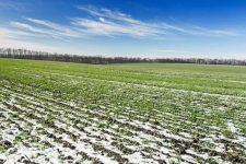 Озимі та ярі культури під загрозою: як тепла зима вплине на урожай