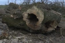 На Волыни коммунальщики срубили полтысячи столетних тополей и ясеней