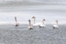 На Вінниччині загинули лебеді – через аномально теплу зиму не відлетіли в теплі краї