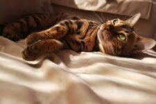 """170 тыс. грн за """"домашнего леопарда"""": топ самых дорогих кошек в Украине"""