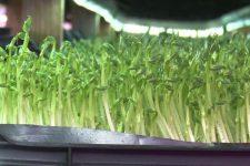 Новый тренд здоровой пищи – микрогрин: что это такое и как выбирать