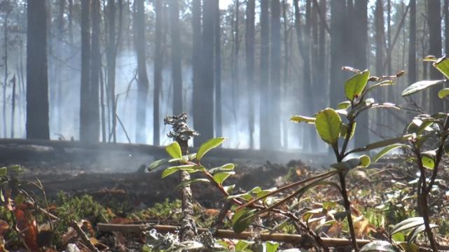 Лісові пожежі у Чорнобилі