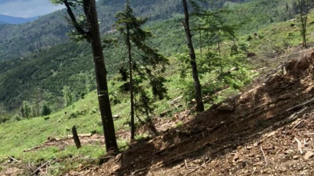 Незаконна вирубка лісу на Закарпатт