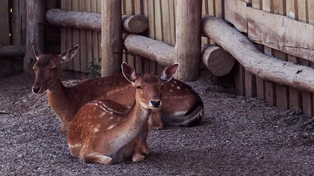 В Одеському зоопарку через відвідувачку померло дитинча козулі